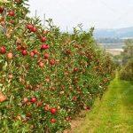 apple-garden